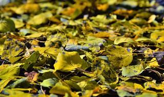 A Carpet of Fallen Aspen Leaves
