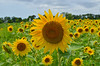 sunflower (delitefulimage) Tags: nikon sky ambientlight yellow gold platinum holiday cutie sand sea ruby diamond coffee treasure ocean svdelos