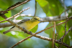 Fort De Soto Park Yellow-throated Warbler 04-08-2018 (Jerry's Wild Life) Tags: florida fortdesoto fortdesotopark ftdesoto ftdesotopark pinellascounty pinellascountypark songbird songbirds vireo vireoflavifrons ytvi yellowthroated yellowthroatedvireo