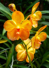 Yellow Beauty (kate willmer) Tags: yellow orchid flower garden botanical singapore