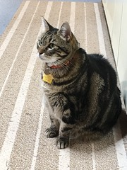 Dashed Hopes for a Snack (sjrankin) Tags: 22april2018 edited yubari hokkaido japan animal cat tigger kitchen floor
