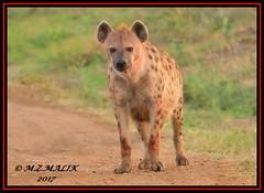 SPOTTED HYAENA (Crocuta crocuta)......MASAI MARA......OCT,2017 (M Z Malik) Tags: nikon d3x 200400mm14afs kenya africa safari wildlife masaimara keekoroklodge exoticafricanwildlife ngc npc