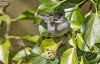 Blackcap - male (Mick Erwin) Tags: blackcap male nikon afs 600mm f4e fl ed vr lens d850 mick erwin stoke trent staffordshire wildlife nature