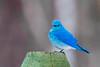 Mountain Bluebird (Glenn R Parker) Tags: bluebird mountainbluebird