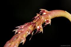 Bulbophyllum trifarium (LukusuziRiver) Tags: orchid bulbophyllum