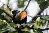I See You (peaflockster) Tags: sandiego zoo animals toucan bird tropical orange