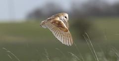 Barn owl (smiffy4268) Tags: