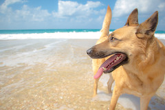 Dog with tongue out on the beach (Pierre Janineh) Tags: seashell water dogstongue browndog brown clouds bluesky blue beach cloud dog seashells sky dogonthebeach mediterranean sea dogeyes
