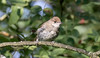 Blackcap (Female) (Steve (Hooky) Waddingham) Tags: animal bird british migrant countryside nature song summer photography wild wildlife