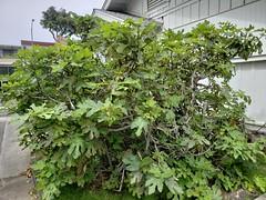 Fig mosaic (pathogen: Fig mosaic virus, FMV) (Plant pests and diseases) Tags: edible fig ficus mosaic virus fmv leaf leaves