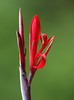 Hot Red (AnyMotion) Tags: blossom blüte nature natur 2018 plants pflanzen anymotion blumen floral flowers arumeruriverlodge arusha tanzania tansania africa afrika reisen travel 7d2 canoneos7dmarkii colors colours farben red rot macro makro makroaufnahmen ngc npc