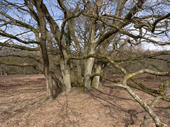 (Jeroen Hillenga) Tags: heidestrubben strubben boom tree kniphorstbos drenthe landscape landschap netherlands nederland natuur nature natuurgebied natur heide kronkelig drentscheaa