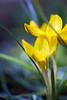 Crocus (stgio) Tags: crocus flower nature spring springflowers macro yellow primavera fioritura stilllife