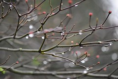 Spring raindrops (Nina_Ali) Tags: water buds blossom branch bokeh depthoffield england flora nature 2018 spring raindrops 7dwf nina ali ninaali