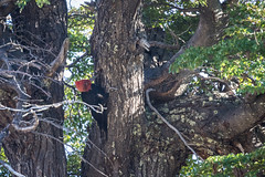 The Very Large Magellanic Woodpecker at Work (jeff_a_goldberg) Tags: campephilusmagellanicus magellanicwoodpecker woodpecker elchalten santacruz argentina ar