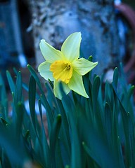 Daffodils in bloom (briannalhendricks) Tags: canonrebelt6 canonrebel canon flowerphotography flowers daffodils