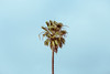 palm tree [Day 3396] (brianjmatis) Tags: minimalism california sky palmtree tree photoaday minimalist project365 sanluisobispo unitedstates us