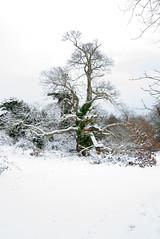 Primley Park in the Snow (vi) (Ray. Hines) Tags: pentaxk5 smcpentaxda18135mmf3556edalifdcwr snow tree white primleypark paignton devon