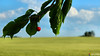 The last red... (Szymon Simon Karkowski) Tags: outdoor lsat red field tree cherry sky clouds grain green leaf leafs fruit horní břečkov czech republic canon eos 1200d