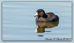 Coot Relaxation (ctofcsco) Tags: renownprettyesploraphotopic canon shutterspeedpriorityae flashoffdidnotfire spot iso400 f56 11250 ef400mmf28liiusm20x 800mm eos7d 7deos7d7dclassic7dmark17dmarki canonexploreesplora eos renownprettydigital explored extenderteleconvertertelephotosupertelephoto 2x20xef2xef2xii canoneosexploreesploraexplored 2017 birds co colorado geo:lat=3757331950 geo:lon=10609186510 geotagged homelake lake montevista nature northamerica photo photograph pic picture pretty renown unitedstates usa water wildlife waterfowl