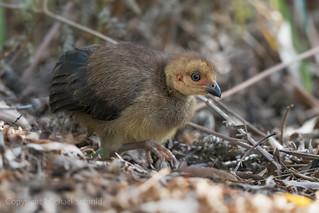 Brush Turkey chick (Alectura lathami)
