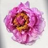 Être au cœur des choses (tassaralaura) Tags: flower fleur rose photographe photographer photography montage coeur pivoine