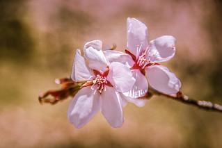 Cherry Blossom @ Branch Brook Park