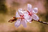 Cherry Blossom @ Branch Brook Park (Yuri Dedulin) Tags: cherry blossom festival branchbrook newjersey yuridedulin nature macro nj spring