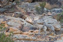 Mom With Her Twins (Amy Hudechek Photography) Tags: mammal wildlife nature desert bighorn sheep babies colorado march amyhudechek nikon d500nikon 600mm f4 spring new born playful playing coloradowildlife