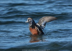 Harlequin Male (CindyFullwiler Nature Photography) Tags: harlequin ducks colorful birds drakes editz hook port angeles
