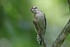 Downy Woodpecker (Alan Gutsell) Tags: birds bird houston texas alan spring migration birding hotspots bearcreekpark downy woodpecker downywoodpecker tree