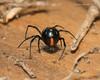Southern Black Widow 5 (strjustin) Tags: southernblackwidow blackwidow arachnid spider bug insect macro