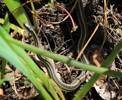 ribbon snake or ribbonsnake (Thamnophis sauritus) (im2fast4u2c) Tags: ribbon snake or ribbonsnake thamnophis sauritus sheldonlakestatepark