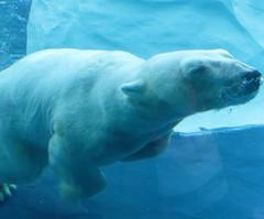Polar Bear Swim (peterkelly) Tags: digital northamerica canon 6d detroit michigan unitedstates us usa unitedstatesofamerica detroitzoo captive polarbear blue water underwater swimming swim