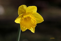 the first (Judecat (easing into summer)) Tags: spring flower yellow nature daffodil mygarden