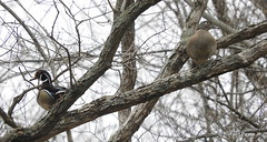Wood Ducks_N5791 (Henryr10) Tags: californiawoodsnaturepreserve californiawoods lickruncreek cincinnatioh woodduck aixsponsa aix duck avian bird vogel ibon oiseau pasare fågel uccello tékklistar waterfowl wodu