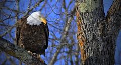 Bald Eagle Totagatic River N.W.R. (Direwolf131) Tags: