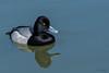 Oreo Duck (MelRoseJ) Tags: sanleandro california unitedstates us sonyalpha sony sonyilca77m2 a77ii alpha autofocus sal70200g birds bayarea nature northerncalifornia sanleandromarina scaup