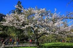 阿里山櫻王,吉野櫻(Yoshino cherry blossom @ Alishan)。 (Charlie 李) Tags: 5d3 canon yoshinocherryblossom cherryblossom alishan 藍天 阿里山鄉 嘉義縣 吉野櫻 櫻花季 阿里山
