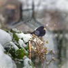 Winter in the Garden (Missy Jussy) Tags: blackbird snow winter beastfromtheeast garden mygarden plants bokeh bird canon 5d canon5dmarkll canon5d canoneos5dmarkii outdoor outside ef70200mmf4lusm