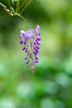 _DSC1852 (Yiing Juii) Tags: 2018 wisteria 紫藤