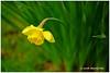 The Challenges of Flower Photography - Calder XT5548e (Harris Hui (in search of light)) Tags: harrishui fujixt1 digitalmirrorlesscamera fuji fujifilm vancouver richmond bc canada vancouverdslrshooter mirrorless fujixambassador xt1 fujixcamera fujixseries fujix fuji80mmf28 fujiprimelens fixedlens daffodil floral spring focus velvia bokeh depthoffield green white yellow