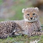 Cheetah cub bravely posing thumbnail