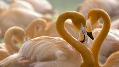 Frühlingsgefühle (Renate Bomm) Tags: 7dwf fauna fe70300mmf4556goss flamingo herz liebe postproceced renatebomm schwimvögel sliderssunday sonyilce6000 tiere vogel zoo 2018 orange naranjo animals