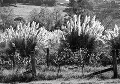 1 apr 2018 - photo a day (slava eremin) Tags: dailyphoto 365 1day photoaday blackandwhite bw monochrome blanconegro bianconero turangacreek winery landscape