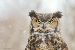 Grand-duc d'Amérique - Great horned owl (sandra bourgeois) Tags: canon passion faune nature owl hibou oiseau bird ambassadeur saintjude uqrop grandduc