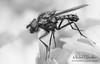 Fly BW (Michel L'HUILLIER (Asterix_93)) Tags: fly macro lumix dmcg1 50mm minolta rings