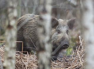 Wild Boar Sus scrofa 015-1