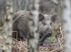 Wild Boar Sus scrofa 015-1 (cwoodend..........Thanks) Tags: gloucestershirewildlife gloucestershire wildlife forest forestofdean wildboar susscrofa boar woodland