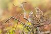 California quail fledgling finishing its note (Pat Ulrich) Tags: pointreyesnationalseashore marincounty california californiaquail fledgling callipeplacalifornica birds birding wildlife ©patulrich